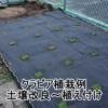 クラピア植栽の様子
